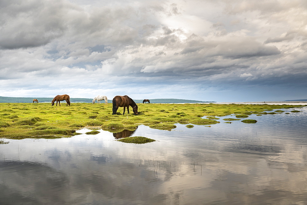 Horses grazing on the shores of Hovsgol Lake. Hovsgol province, Mongolia.