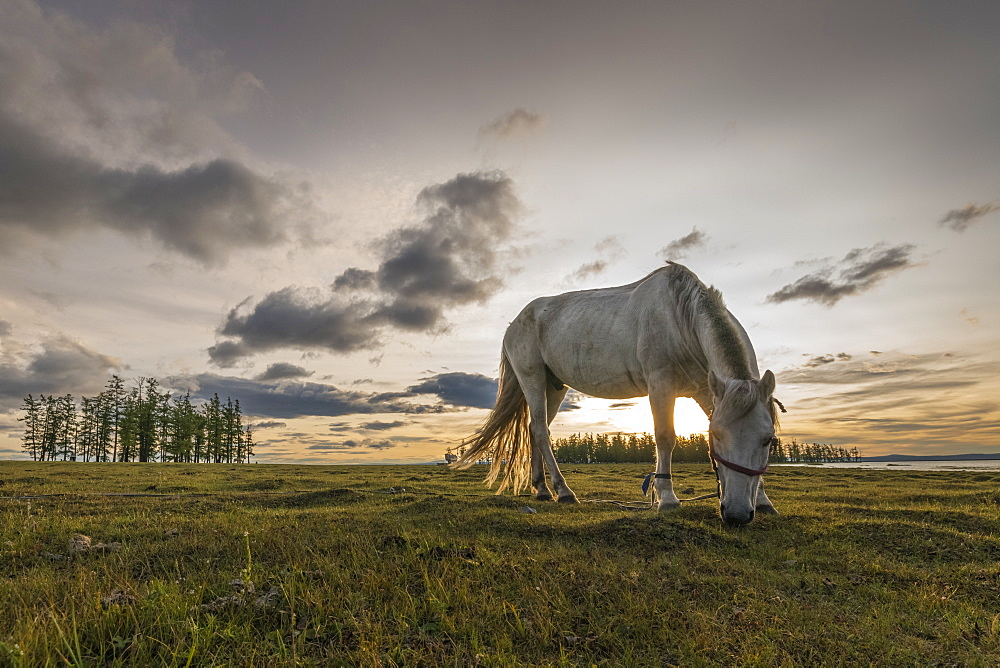 Horse grazing on the shores of Hovsgol Lake at sunset. Hovsgol province, Mongolia.