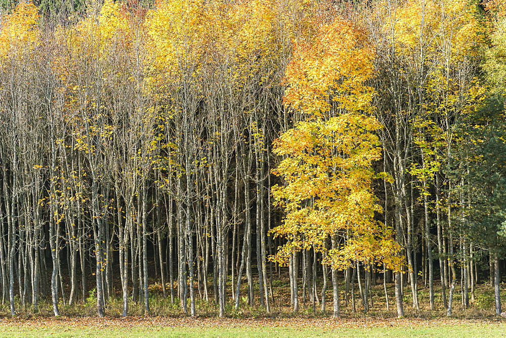 Forest of beech trees in autumnal colours. Heinstetten, Baden-Wv?rttemberg, Germany. - 1251-413