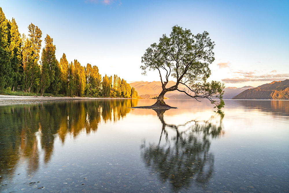 The lone tree in Lake Wanaka in the morning light, Wanaka, Queenstown Lakes district, Otago region, South Island, New Zealand, Pacific