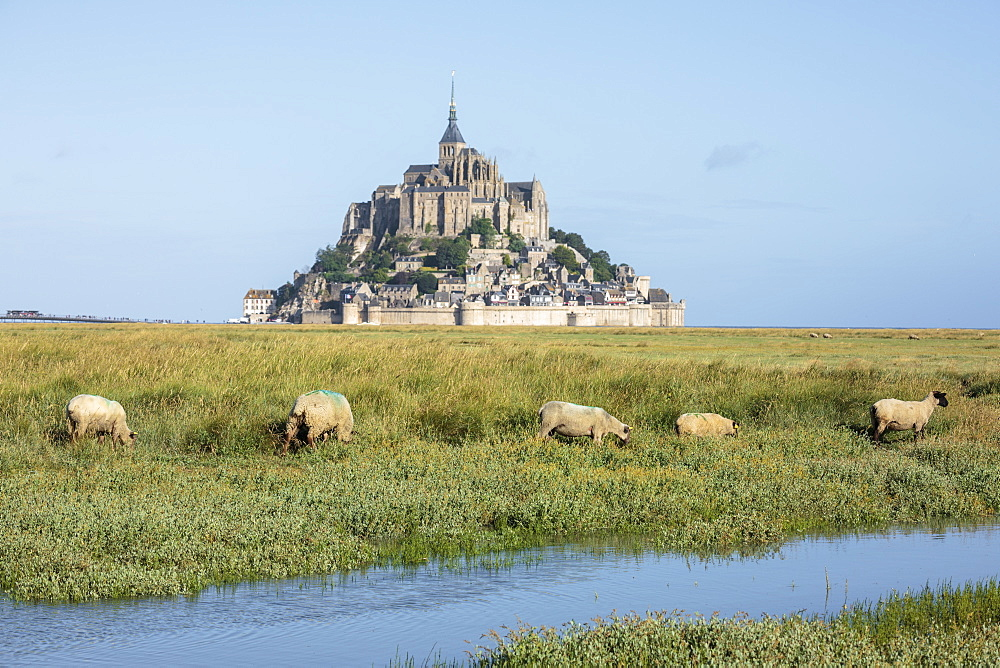 Sheeps grazing with the village in the background. Mont-Saint-Michel, Normandy, France.