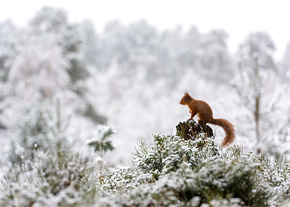 Red Squirrel. A Red Squirrel (Sciurus vulgaris) perched on a stump in the snowy Cairngorms.