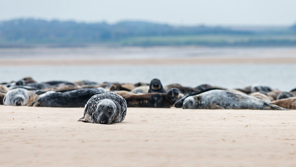 Grey seals (Halichoerus grypus) resting on the sandbanks at the end of Blakeney Point, Norfolk, England, United Kingdom, Europe