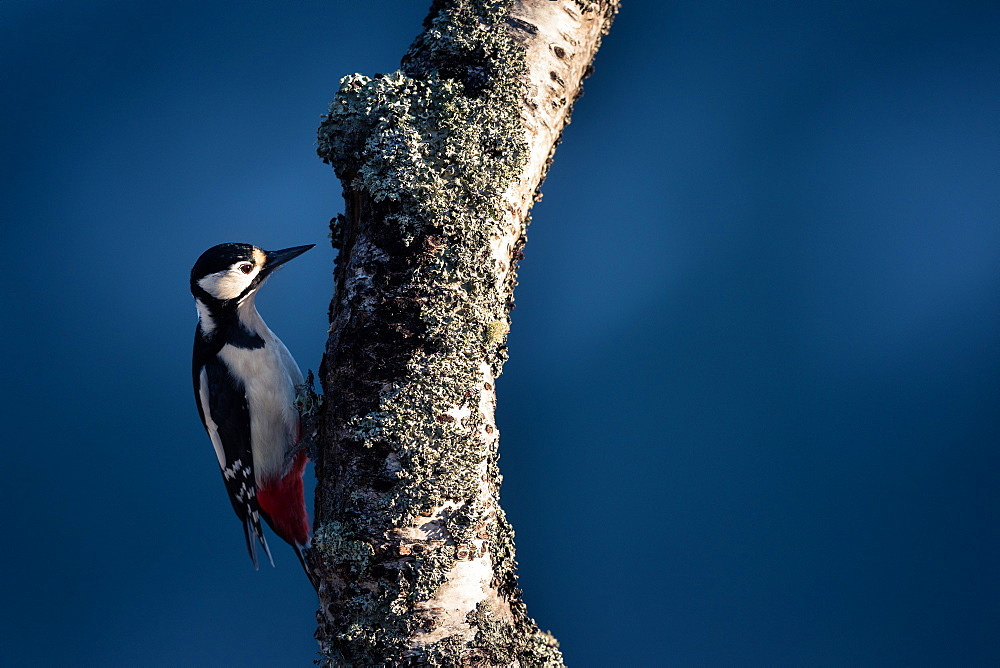 Female great spotted woodpecker (Dendrocopos major) feeding on a lichen covered silverbirch, Highlands, Scotland, United Kingdom, Europe - 1254-15