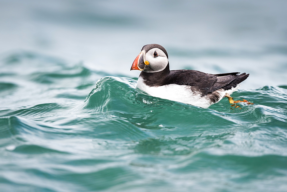 Puffin (Fratercula arctica) riding a small wave in North Haven on Skomer, Wales, United Kingdom, Europe - 1254-17