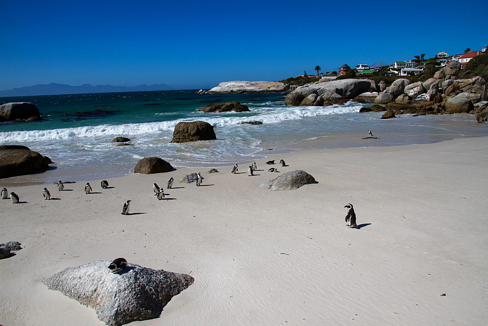 The African penguin colony on Boulder's Beach, Cape Town, South Africa, Africa