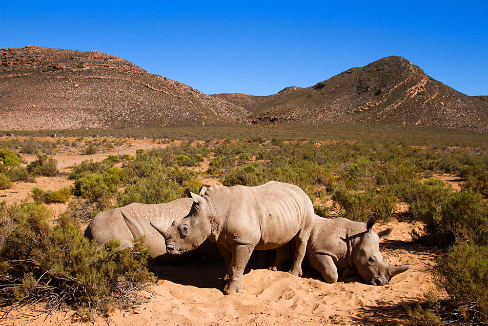 A young rhino and family, Aquila Safari game reserve, Cape Town, South Africa. - 1262-201
