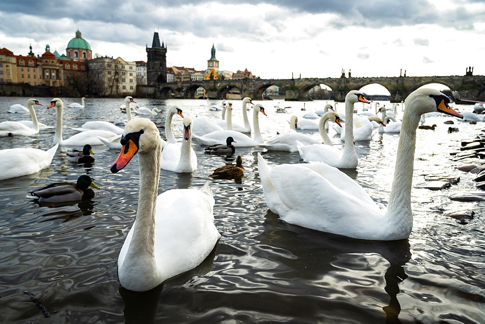 Swans gather on the banks of the Vltava river with Charles Bridge in the background, Prague, Czech Republic, Europe - 1263-170