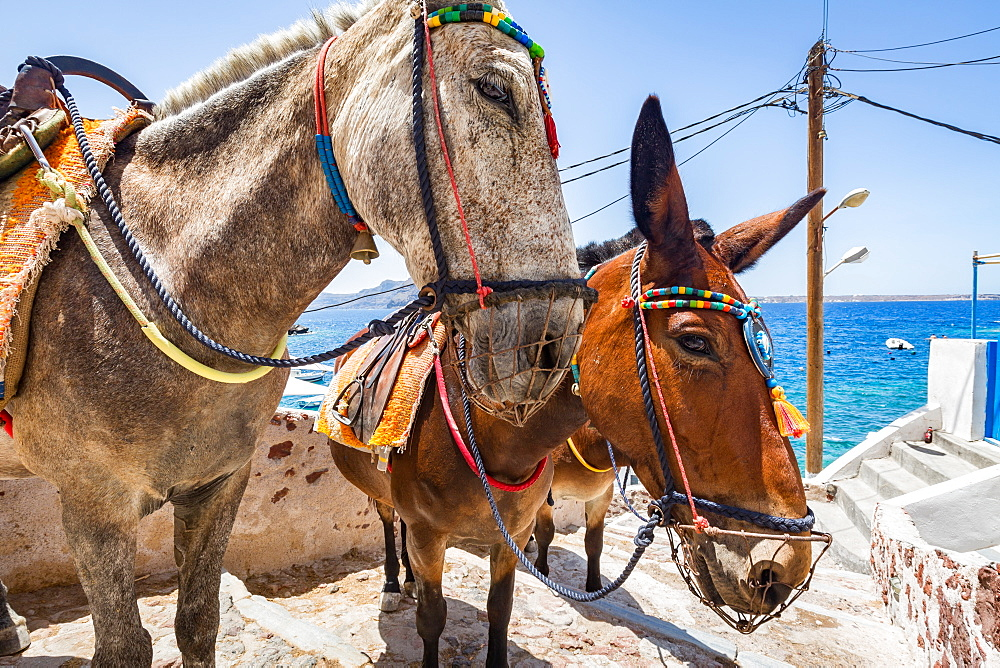 Donkeys and mules take tourists and goods from Oia to Ammoudi Bay (Amoudi) at the bottom of the steps below, Santorini, Cyclades, Greek Islands, Greece, Europe - 1263-39