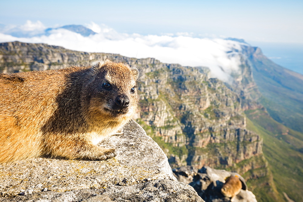 Rock Dassie (hyrax) on top of Table Mountain, Cape Town, South Africa, Africa - 1263-48