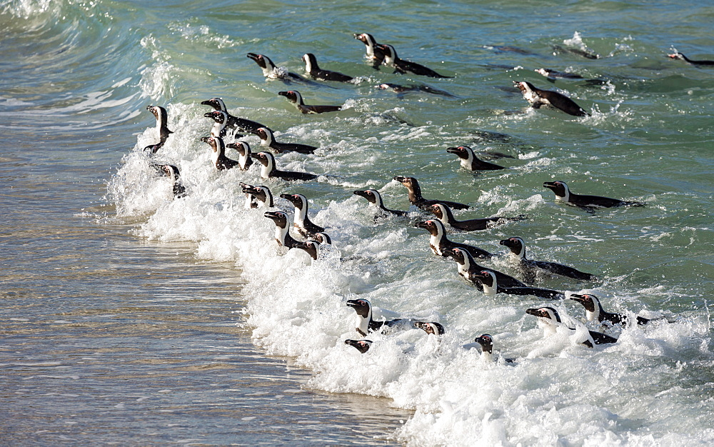 Stock photo of Penguins swimming in on the tide