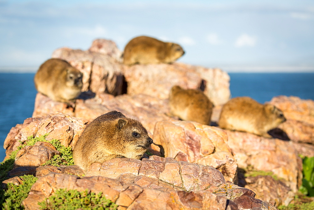 Rock Dassies (hyrax), Hermanus, Western Cape, South Africa, Africa - 1263-62