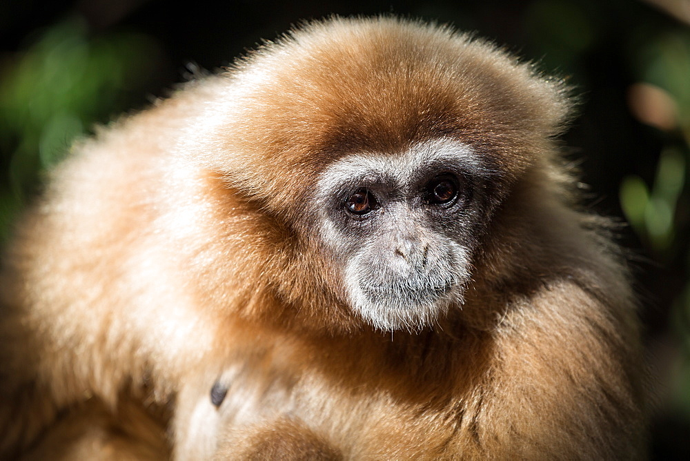 Female Gibbon at Monkeyland Primate Sanctuary in Plettenberg Bay, South Africa. Africa