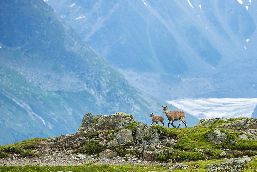 Two Ibexes on a rock in front of Mont Blanc, Chamonix, Haute Savoie, France, Europe