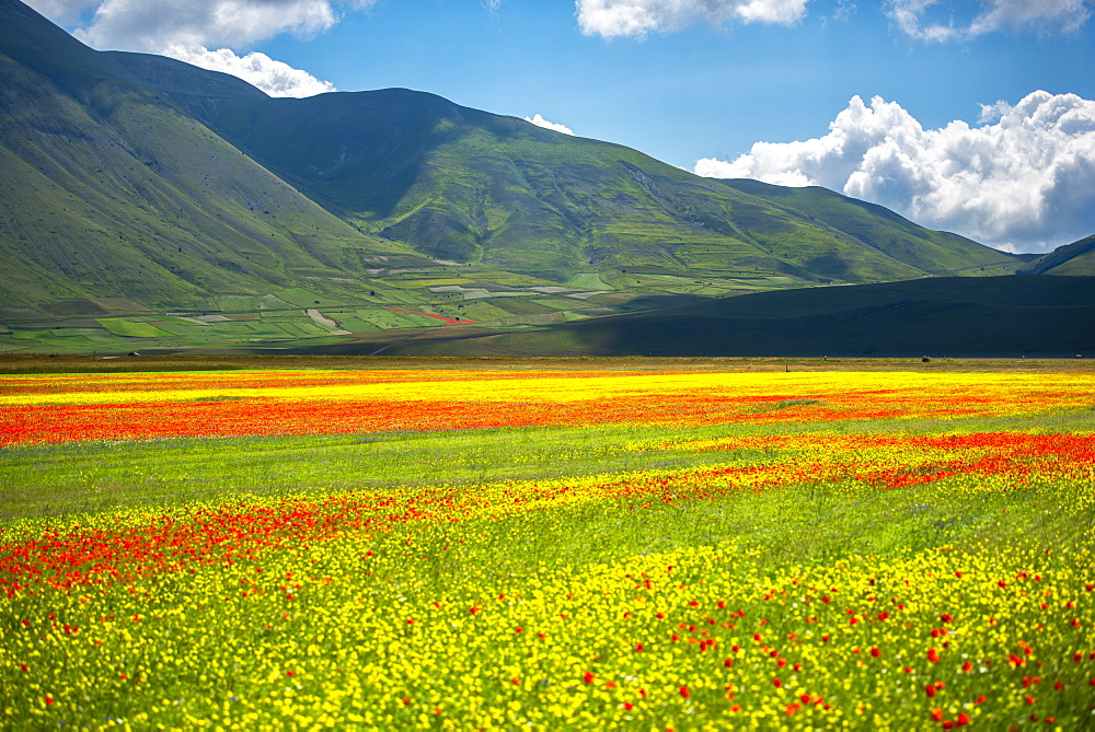 Flowers blooming on plateau Piano Grande, Sibillini National Park, Umbria, Italy, Europe - 1264-220
