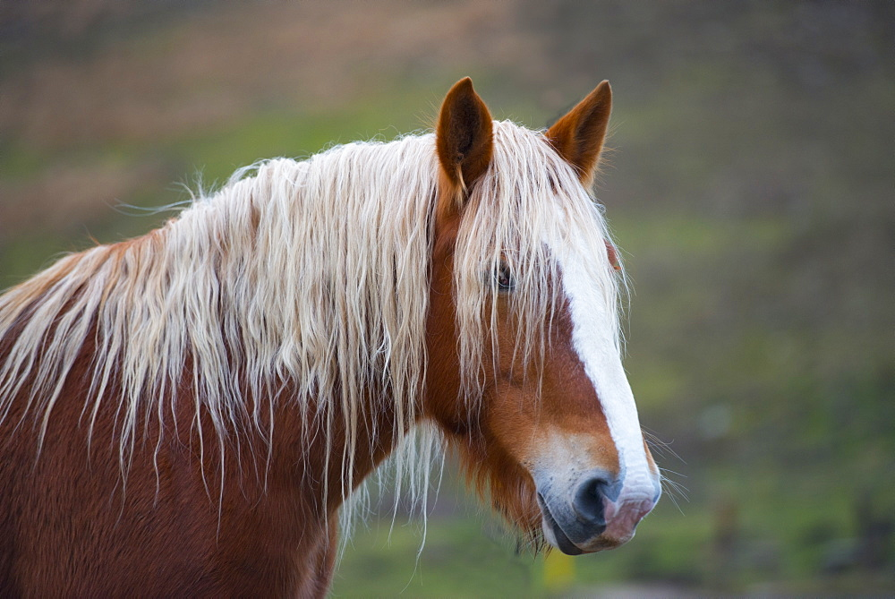 Horses on plateau Piano Grande di Castelluccio di Norcia, Sibillini Mountains, Umbria, Italy, Europe