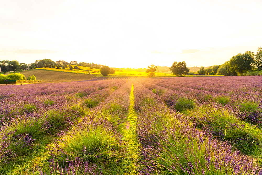 Lavender fields at sunset, Corinaldo, Marche, Italy, Europe - 1264-309