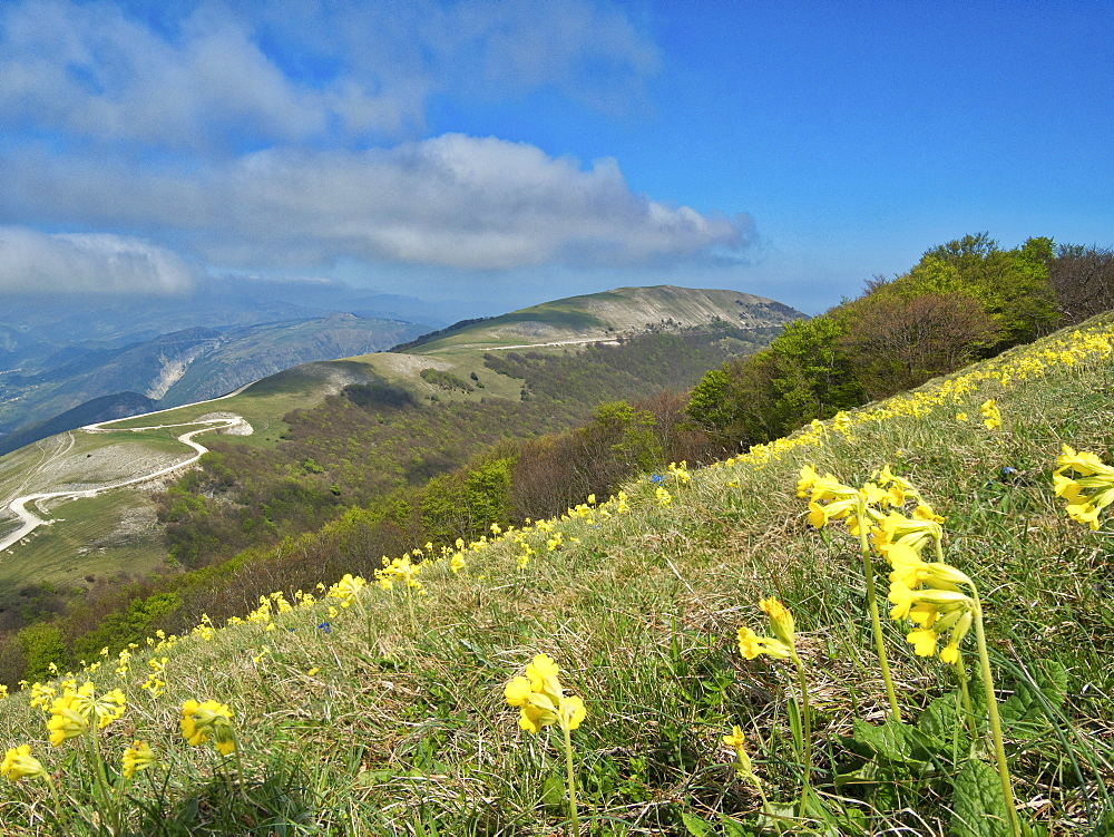 Yellow flowers blooming in the fields, Mount Acuto, Apennines, Umbria, Italy, Europe - 1264-97