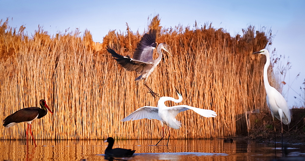 Grey heron and white egret fighting in Pusztaszer National Park, Hungary, Europe