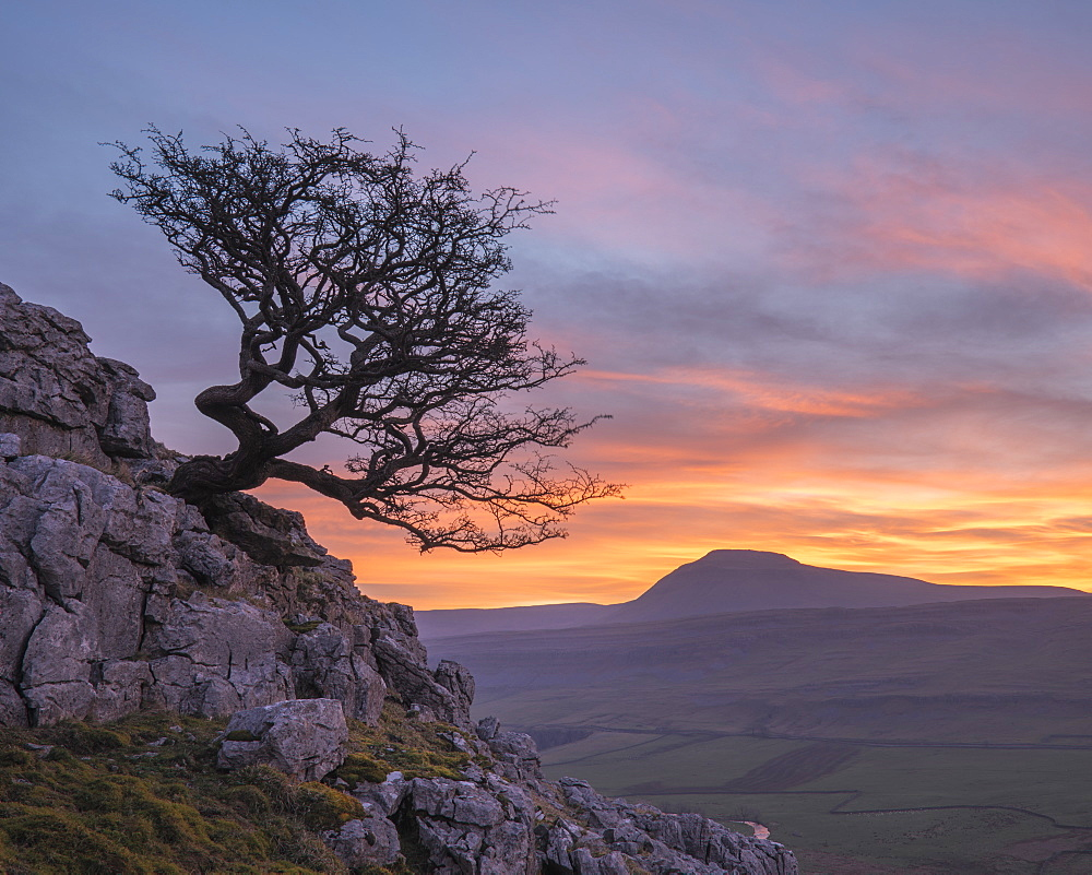Hawthorn tree and view to Ingleborough Hill from Twisleton Scar above Ingleton, Yorkshire Dales, North Yorkshire, UK - 1266-153