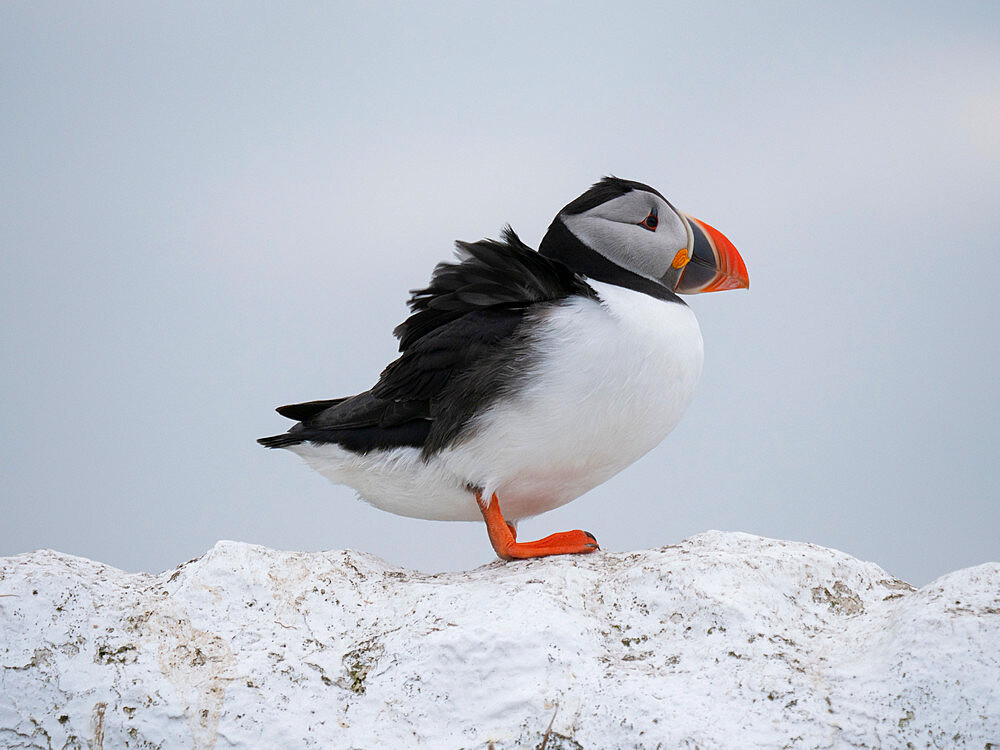 Puffin (Fratercula arctica) perched on wall, Inner Farne Island, Farne Islands, Northumberland - 1266-179