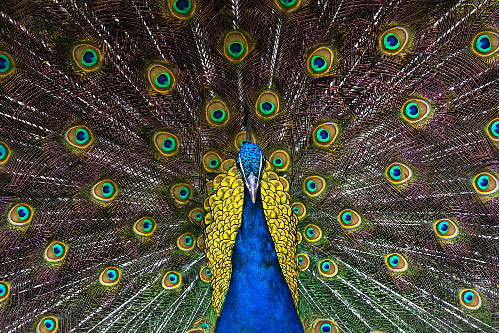 Indian Peacock Pavo Cristatus plumage display in the grounds of Barcelona zoo. Catalonia, Spain. - 1267-190