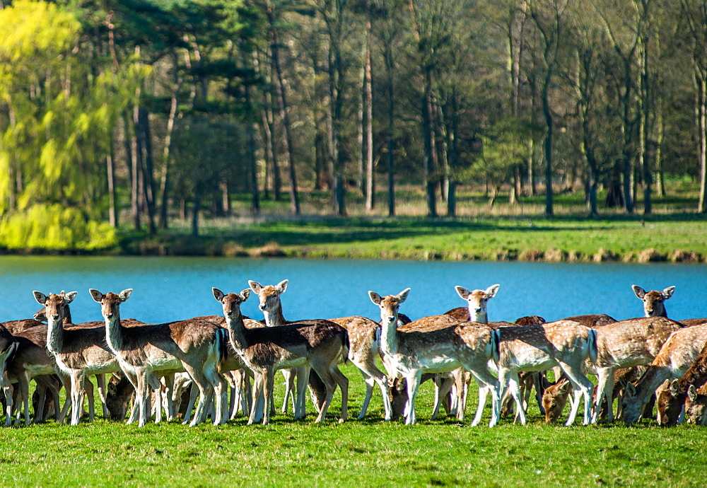 Fallow near the lake at Holkham Park, near the North Norfolk Coast, Norfolk, East Anglia, England, United Kingdom, Europe