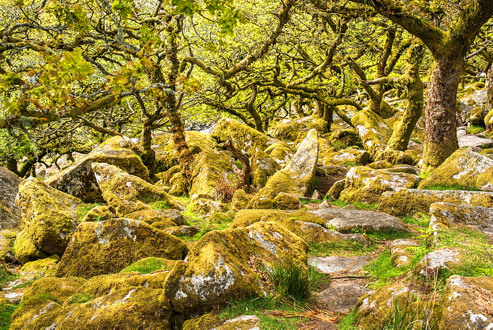 Sessile oaks and moss in Wistman's Wood, Dartmoor, Devon, England, United Kingdom, Europe - 1267-450