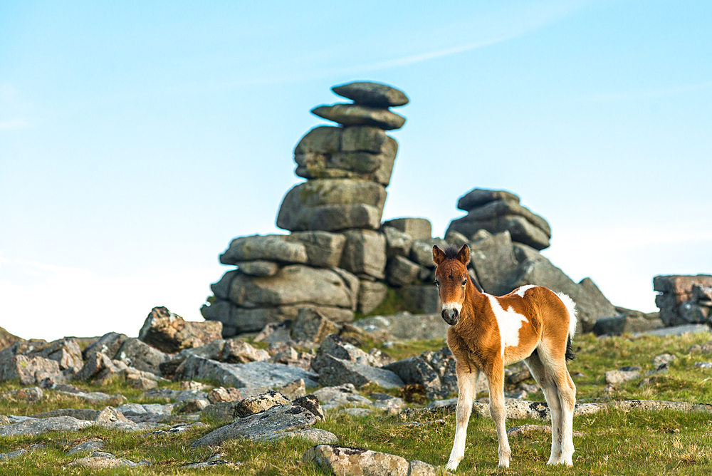 Dartmoor pony foal in front of Great Staple Tor, Devon, England, United Kingdom, Europe