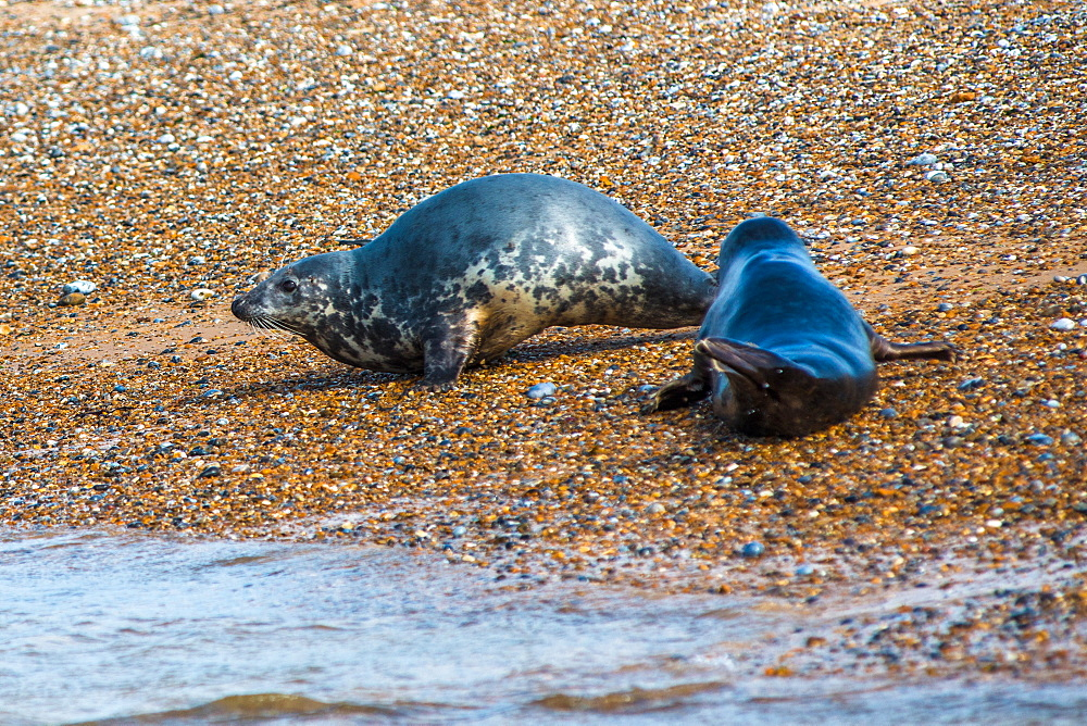 Grey seals and Common (Harbour) seals on beach at Blakeney Point, Norfolk, England, United Kingdom, Europe