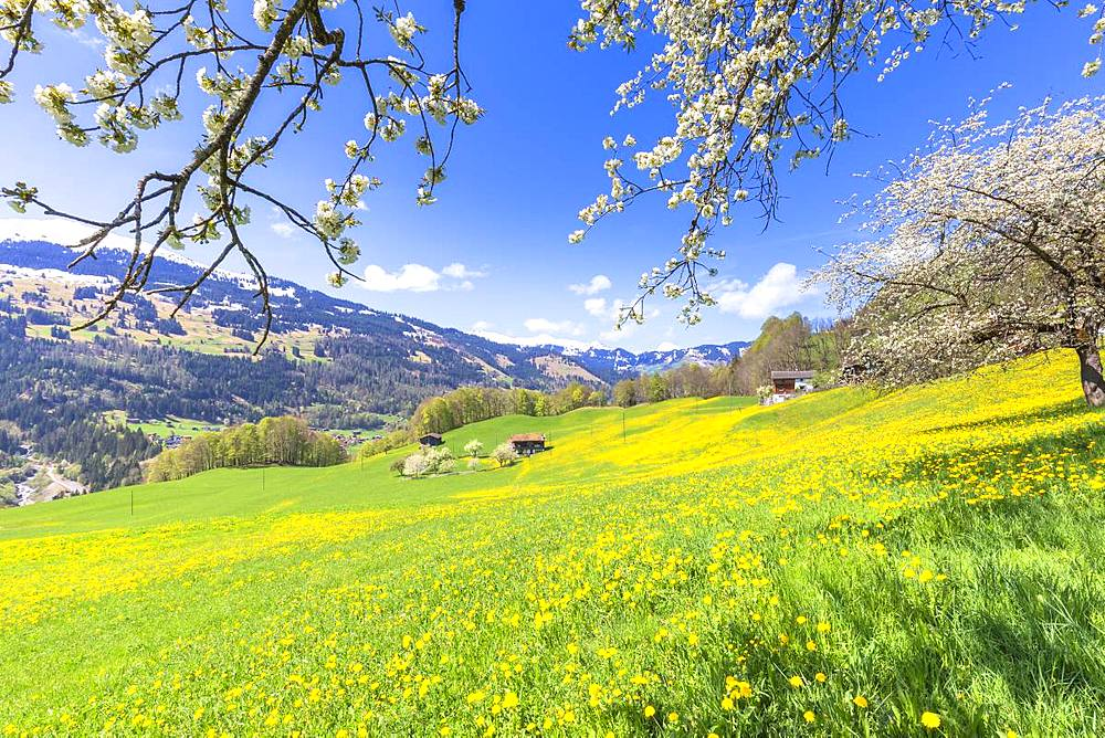 Spring blooms in Sankt Antonien, Prattigau valley, District of Prattigau/Davos, Canton of Graubünden, Switzerland, Europe. - 1269-151