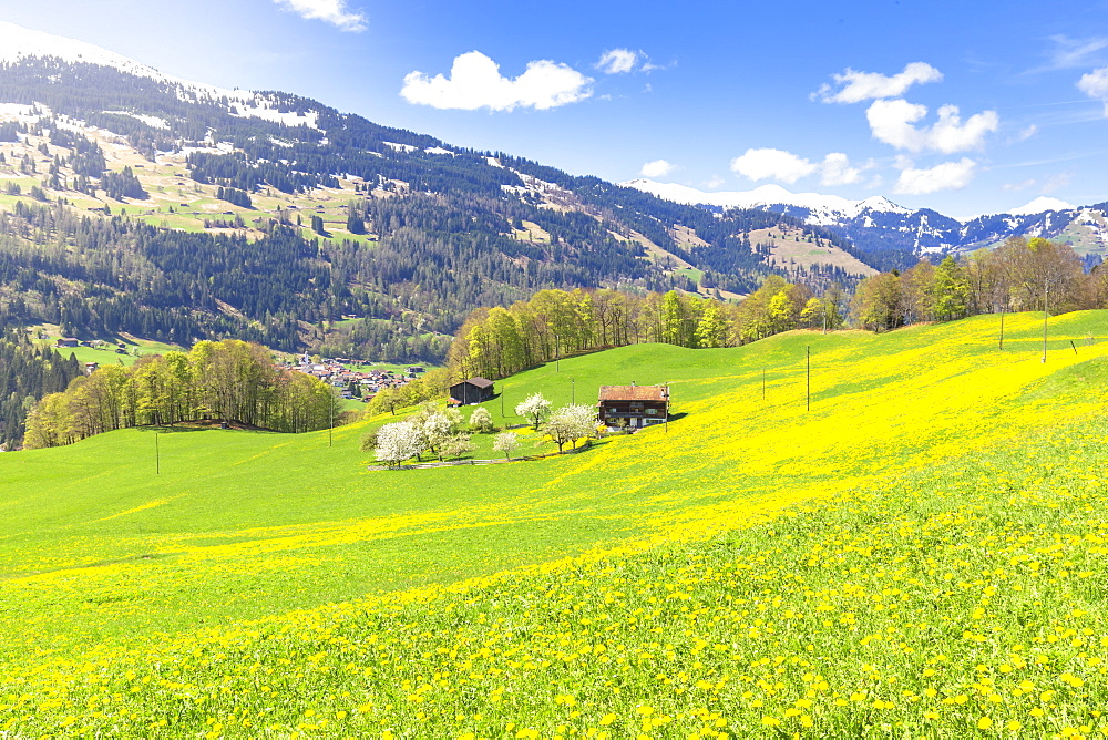 Spring blooms in Sankt Antonien, Prattigau valley, District of Prattigau/Davos, Canton of Graubünden, Switzerland, Europe. - 1269-152