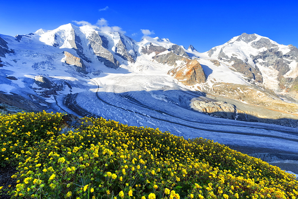 Summer flowers above the Vedret Pers Glacier, Diavolezza Refuge, Bernina Pass, Engadine, Graubunden, Switzerland, Europe - 1269-186