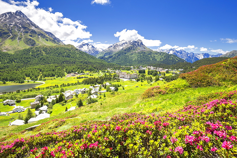 Rhododendrons in flower with Maloja Pass in the background, Maloja Pass, Engadine, Graubunden, Switzerland, Europe - 1269-196