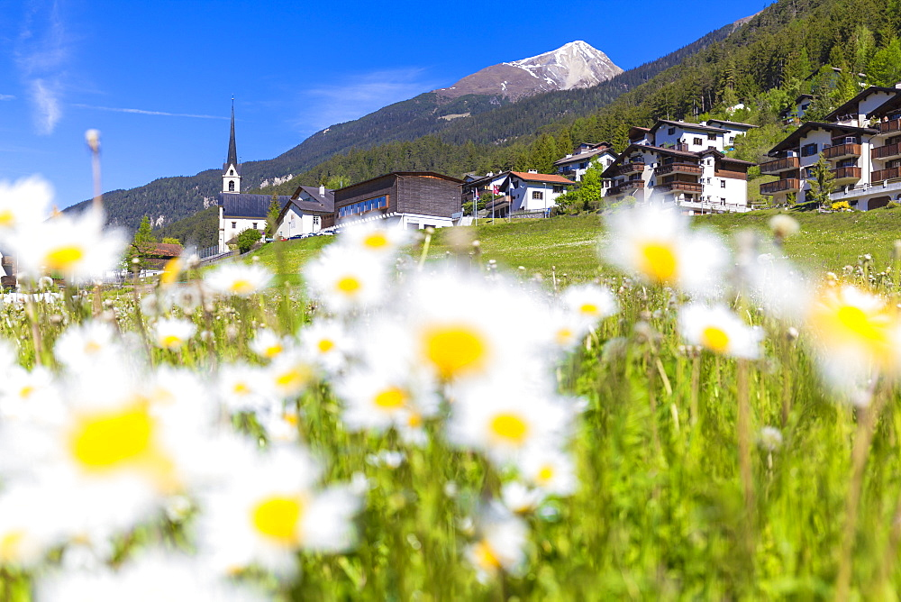 Flowering of daisies in Davos Wiesen, Parc Ela, Prettigau/Davos, Graubünden, Switzerland, Europe. - 1269-203