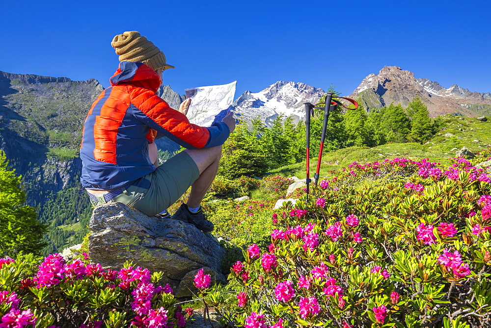 Tourist reading hiking map beside rhododendron flowers, Mount Scermendone, Valmasino, Valtellina, Lombardy, Italy, Europe - 1269-213