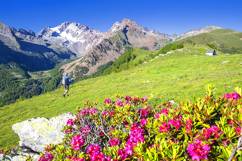 Hiker walkpast rhododendron flowers with Mount Disgrazia in the background, Scermendone, Valmasino, Valtellina, Lombardy, Italy, Europe