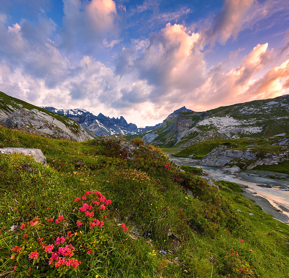 Flowering of rhododendrons at sunrise, Unterer Segnesboden, Flims, District of Imboden, Canton of Grisons (Graubunden), Switzerland, Europe