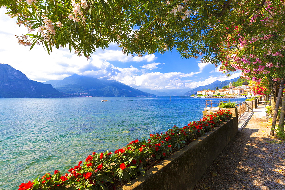 Flowering on the lake side of Bellagio, Province of Como, Como Lake, Lombardy, Italy, Europe. - 1269-245