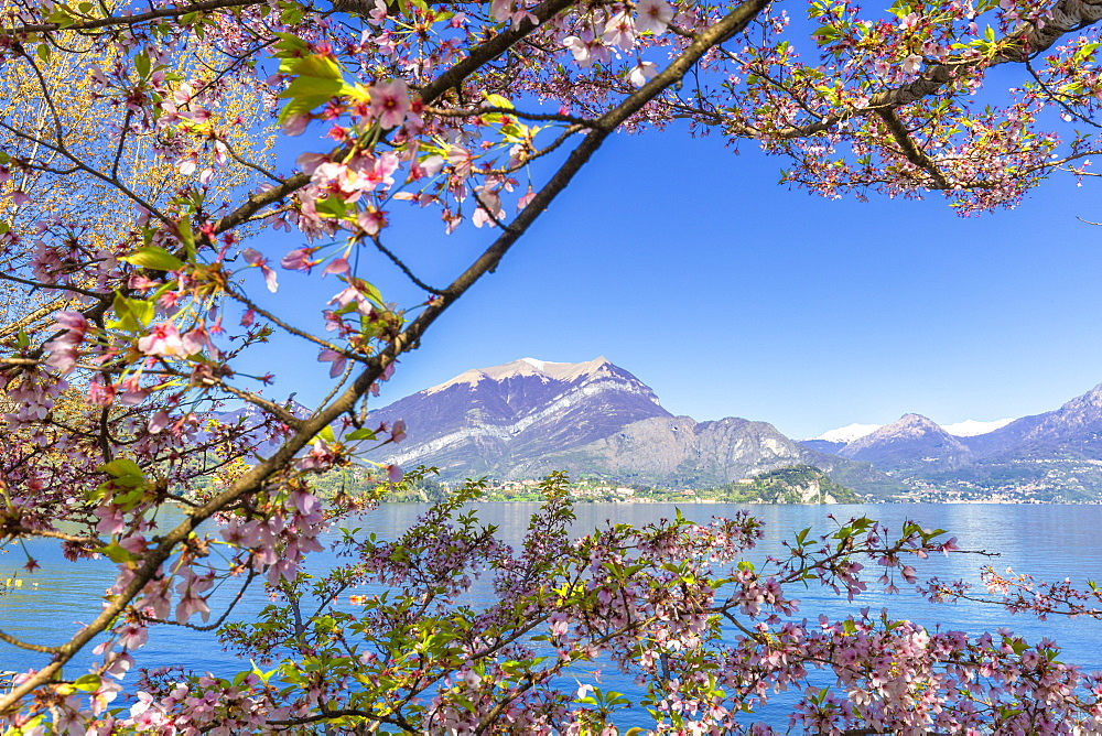 Cherry trees in flower, Lierna, Province of Lecco, Lake Como, Italian Lakes, Lombardy, Italy, Europe