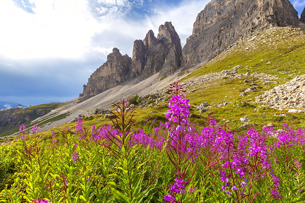 Flowering at the base of Three Peaks of Lavaredo, Dolomites of Sesto (Sexten), Province of Belluno, Veneto, Italy, Europe