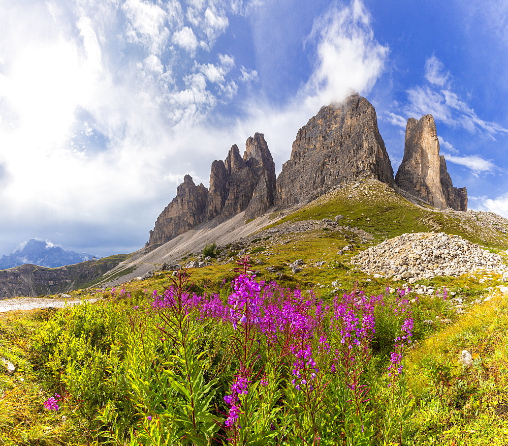 Flowers at the base of Three Peaks of Lavaredo, Dolomites of Sesto (Sexten), Province of Belluno, Veneto, Italy, Europe