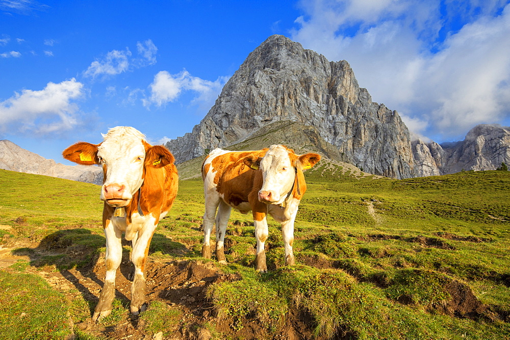 Grazing cows at San Nicolo Pass, Fassa Valley, Trentino, Dolomites, Italy, Europe