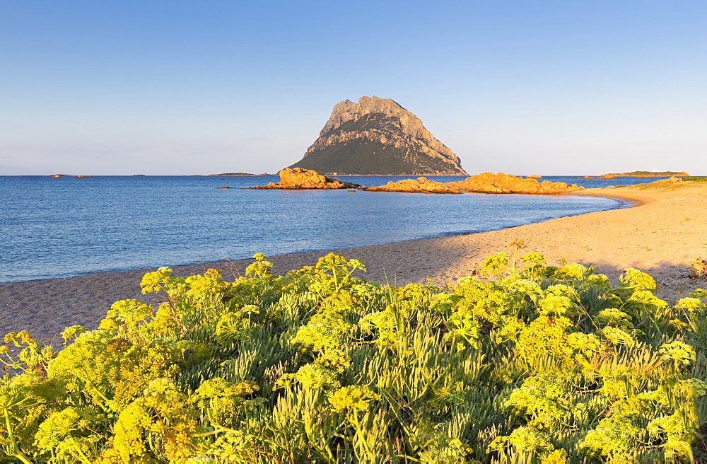 Wild yellow flowers on the beach of Punta Don Diego, Porto Taverna, Loiri Porto San Paolo, Olbia Tempio province, Sardinia, Italy, Mediterranean, Europe