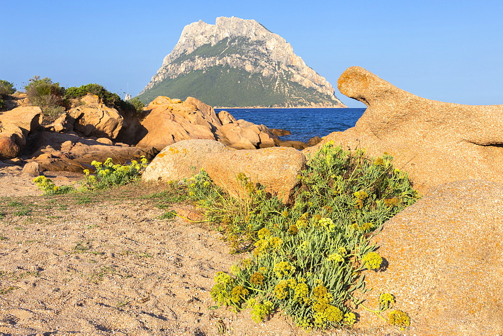 Wild flowers with Tavolara Island in the background, Loiri Porto San Paolo, Olbia Tempio province, Sardinia, Italy, Mediterranean, Europe