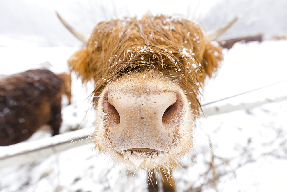 Highland cow in snow, Valtellina, Lombardy, Italy, Europe - 1269-433