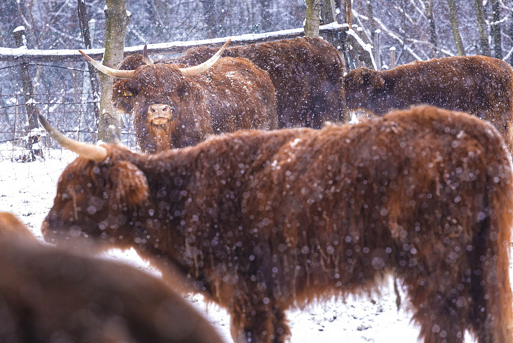 Highland cows in snow, Valtellina, Lombardy, Italy, Europe - 1269-434