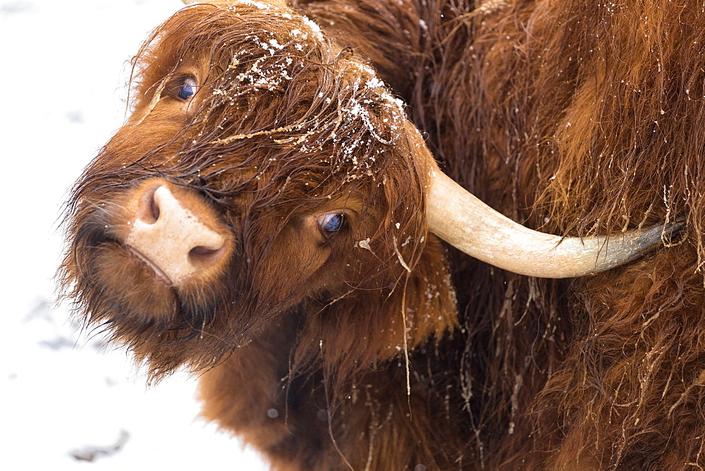 Highland cow under the snow, Valtellina, Lombardy, Italy, Europe. - 1269-435