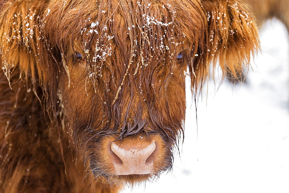 Highland cow under the snow, Valtellina, Lombardy, Italy, Europe - 1269-436