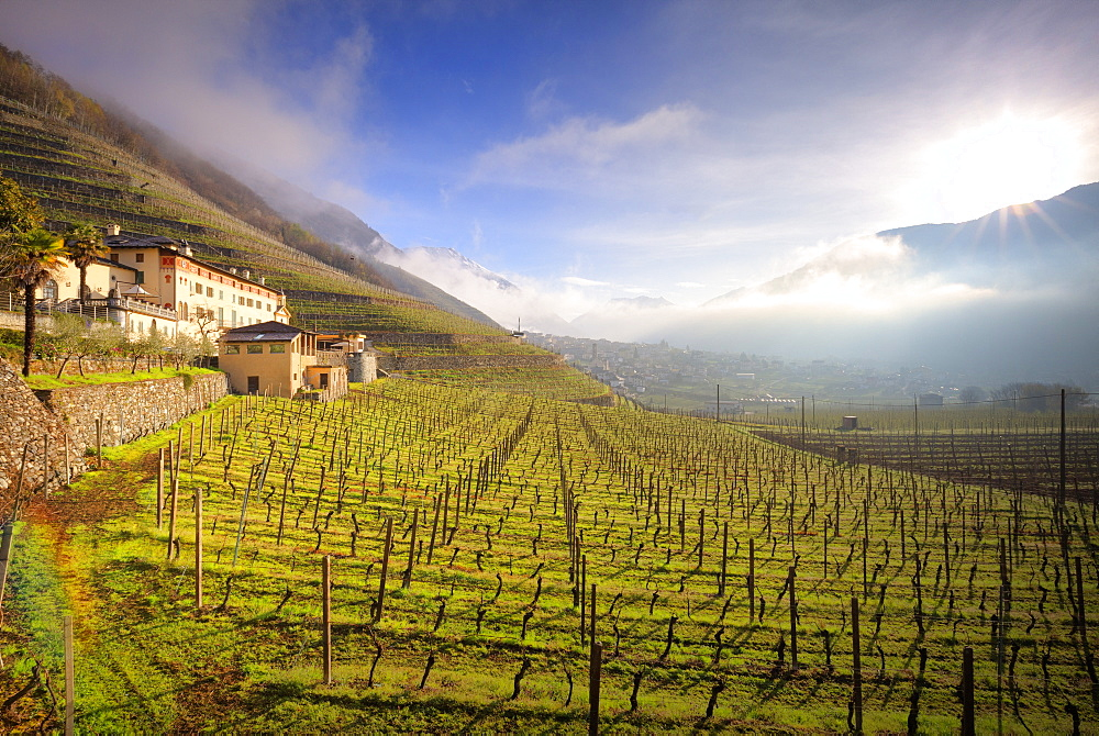 Sunlight in the wineyards at spring. Bianzone, Valtellina, Lombardy, Italy, Europe. - 1269-437